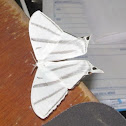 White Saturniid Moth