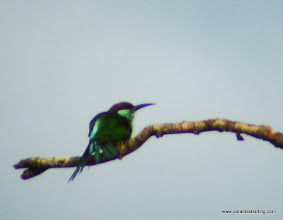 Photo: Blue-throated Bee-Eater, Kinabatangan River