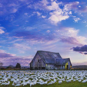 Skagit Valley Snow Geese  by Clement Stevens - Landscapes Sunsets & Sunrises ( sunsets )