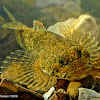 Banded sculpin