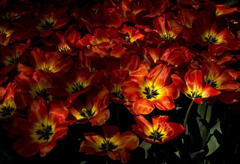 Tulipani del Sigurtà di nessuno