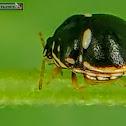 Plataspid Stink Bug