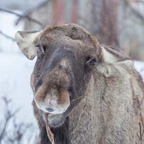 Moose by Benny Høynes - Animals Other ( winter, snow, moose, norway, animal )