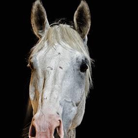 White Beauty by Elias Spiliotis - Animals Horses ( animals, horse, white, domestic, portrait )