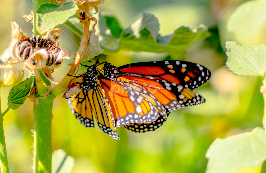 butterfly  by Roman Gomez - Animals Other (  )
