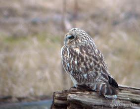 Photo: Short-eared Owl, Fir Island, Washington