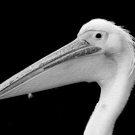 White pelican by Gérard CHATENET - Black & White Animals