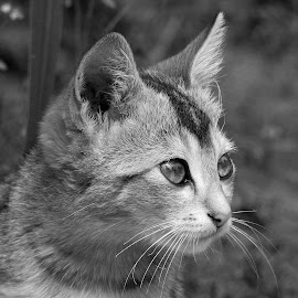 Kitten  by Asif Bora - Black & White Animals (  )