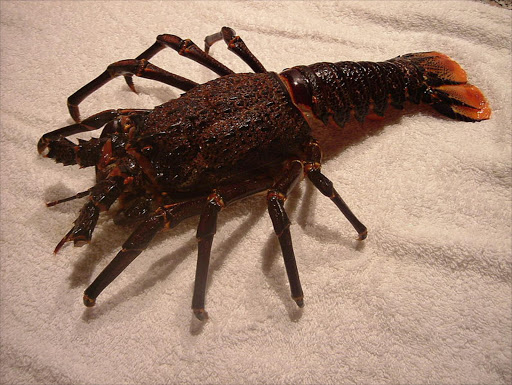 A J. lalandii (South African species of rock lobster) individual missing its antennae