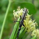 Brentid Weevil