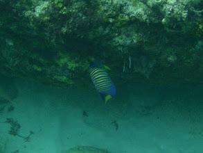 Photo: Pygoplites diacanthus (Regal Angelfish), Siquijor Island, Philippines