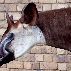 Okapi by Antony Sendall - Animals Other ( silly, licking, london, zoo, amusing, funny, comical, okapi, zsl, bizarre, eye )