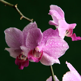 Orchids  by Ridzwan Mohd Nor - Nature Up Close Flowers - 2011-2013 ( nature, purple, flora, orchids, gardens, flowers )