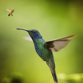 The hummingbird and the bee by Alberto Ghizzi Panizza - Animals Birds ( bird, natura, wild, flight, colibri, bee, green, hummingbird, costarica, thongue )