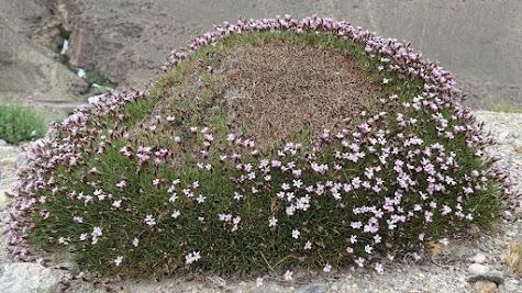Am Wegesrand gedeihen Polsterpflanzen.