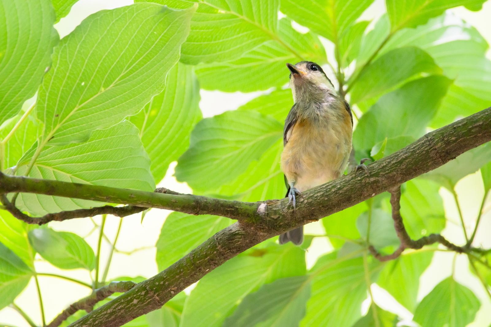 Photo: 無邪気な眼差し Innocent eyes.  見るものすべてが 新しいものばかり このわくわくする気持ち 染まらない純粋な気持ち  Juvenile of Varied tit. (ヤマガラの幼鳥)  #birdphotography #birds  #cooljapan #kawaii  #nikon #sigma   Nikon D7200 SIGMA 150-600mm F5-6.3 DG OS HSM Contemporary  ・小鳥の詩朗読 /poetry reading https://youtu.be/odryC9UlBwA?list=PL2YtHGm0-R3qVsaqvQe9OYdJFCkI98wzF