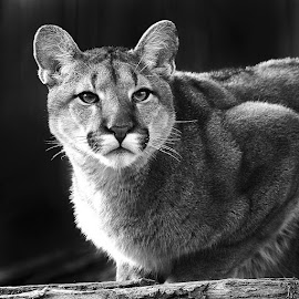 Young mountain lion by Gérard CHATENET - Black & White Animals