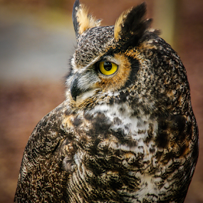 OWL by Myra Brizendine Wilson - Animals Birds ( bird, birds of prey, nature, nc, owl, charlotte raptor center, wildlife, charlotte, birds, owls,  )