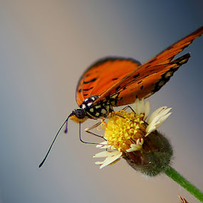 Butterfly by Awaludin Aw - Animals Insects & Spiders