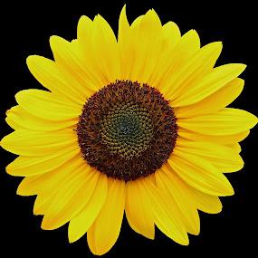 Big Yellow Sunflower by Stephanie Munguia-Wharry - Flowers Single Flower ( nature, sunflower, golden angle, yellow, yellow flower,  )