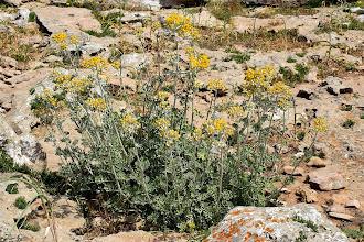 Photo: Helichrysum