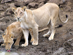 Photo: Kruger NP - lions at waterhole