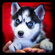 App Siberian Husky Live Wallpaper APK for Windows Phone