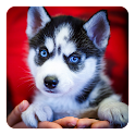 Siberian Husky Live Wallpaper icon