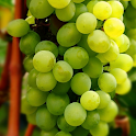 grapes wallpaper icon