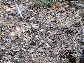 Photo: The rattle snake the 1st 6 of us stepped over...scary.