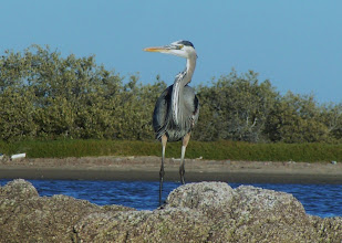 Photo: Great blue heron