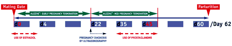 Protocol of Alizine ® administered twice, 24 h apart, for pregnancy termination in dogs. Mating on the day after ovulation in mid-estrus will normally result in a pregnancy with parturition occurring 62 days later. Alizine can be used any time up to day 45 for safe effective termination of pregnancy, including early pregnancy between Day 0 and 21 after mating. In mid pregnancy it can be used in bitches in which an unwanted pregnancy has been confirmed by ultrasound between Day 22 and 30. In contrast, proposed uses of estrogens are only effective between Days 0 - 3. The use of prostaglandin for pregnancy termination is often limited to Days 30 - 45 following pregnancy diagnosis, because of the need for multiple, frequent administrations and side-effects.