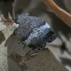 Eurybrachid Planthopper