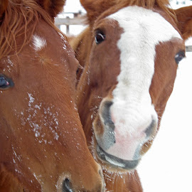 Feed Us by Bill Diller - Animals Horses ( horse, ranch, michigan, ranching, snow, cuteness, cute, two, horses )