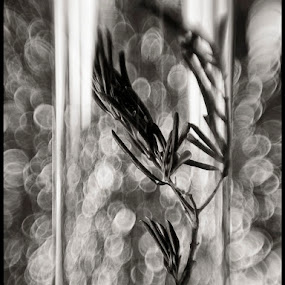 peace by Sasa Lazic - Nature Up Close Other Natural Objects ( vase, reflection, bw, glass, branch, lensbaby, bokeh, olive )