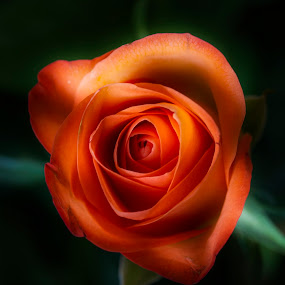 Beautiful Rose by Gavin Smith - Flowers Single Flower ( nature, petals, roses, red rose, beauty )