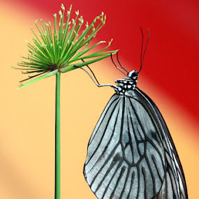 by Chusnul Hidayat - Animals Insects & Spiders