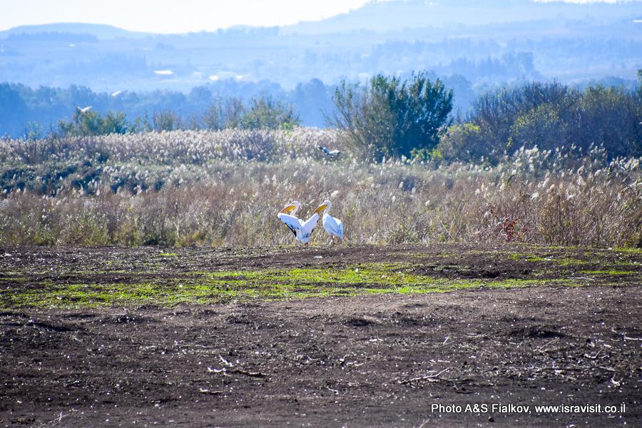 Пеликаны в заповеднике Хула в Израиле.