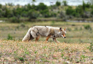 Photo: Kojote bei Jasper