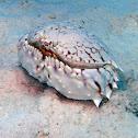 Flame Box Crab