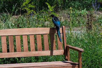 Photo: Magpie in Tierra Amarilla