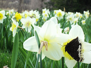 Photo: Butterfly and daffodils at Cox Arboretum in Dayton, Ohio.