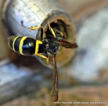 Photo: Es ist keine Wespenart bekannt, die eine solche enge Röhre für eine Brut herrichtet. Wespennester bestehen aus einer papierartigen Masse. Ausgangsmaterial für den Nestbau ist morsches, trockenes Holz, das zu Kügelchen zerkaut wird. Die Nester sind bei Hornissen nach unten hin geöffnet, bei den übrigen Wespenarten ist die Außenhülle bis auf ein Einflugloch geschlossen.