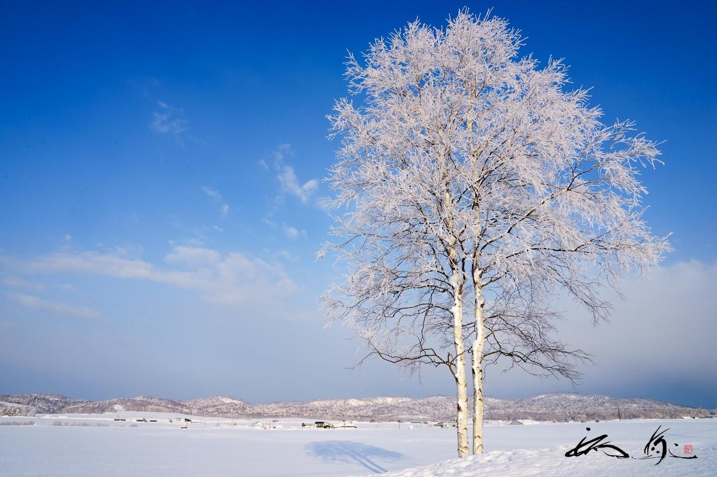 二本で一本のような白樺の木