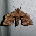 Walnut Sphinx Moth