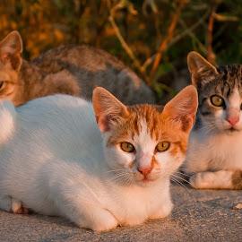 by Eduard Andrica - Animals - Cats Portraits ( cats, animals, threesome, natuire, feline )