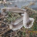 Shed Snakeskin