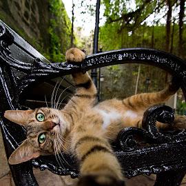 F. catus by Foggy Paipa - Animals - Cats Playing ( cat, puerto rico, wildlife, san juan, kitties, caribbean, gato, wild cat, pet, caribe, kitty, animal, cutest cats,  )