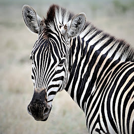 Zebra Filly by Pieter J de Villiers - Animals Other