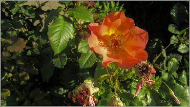 Photo: Trandafiri ( Rosa) - de pe Calea Victoriei, Mr.3 - 2017.07.23